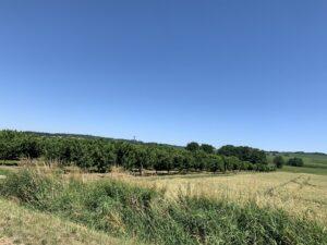 Nussbäume Im Sommer