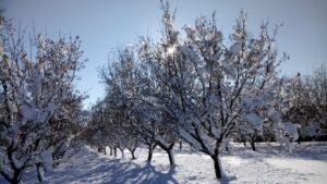 Nussbäume Im Winter 2