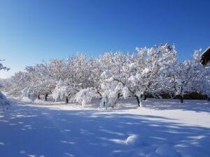Haselnuss_winter_2